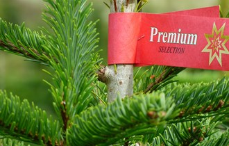 božićna drvca- normand jela i srebrna smreka(punges)