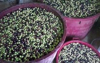 maslinovo ulje-ekološki uzgoj