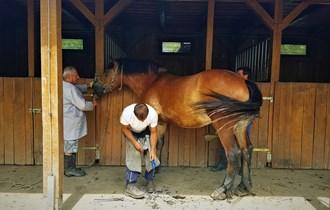 Čuvar stada na Ergeli međimurskog konja u Žabniku