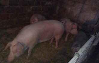 Svinje za obradu cca 180 kg