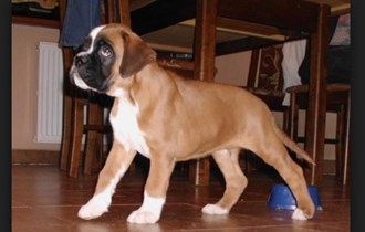 Nemacki bokser i pit bull terrier stenci na prodaju