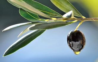 izvrsno domaće maslinovo ulje