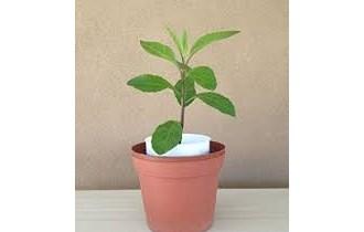 gynura -ginura  procumbens--protiv povišenog šećera i masnoća, za normalizaciju tlaka