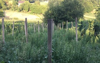 Stupovi za vinograd, 260cm, kupljeni