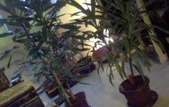 Yucca Elefantino