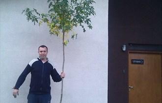 Ukrasno drvo Liquidambar