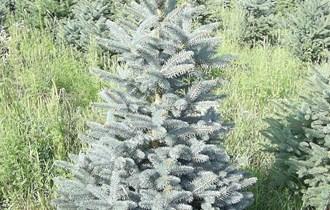 Božićna drvca- srebrna
