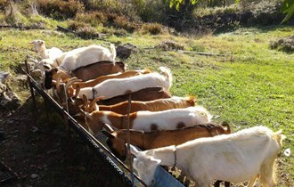11 koza i jarac