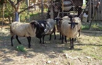 Romanovske ovčice čistokrvne