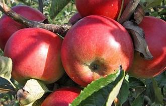 Jabuke nešpricane
