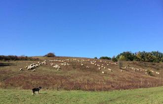 Prodaja ovaca ili zamjena za krave,junice