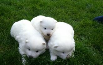 samojed sibirski štenci