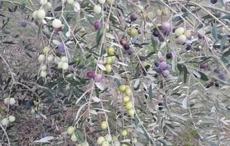 Maslinovo ulje Ekstra Djevičansko