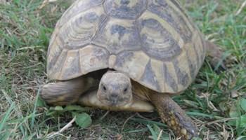 Kopnene kornjače