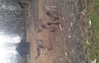 mladi jeleni lopatari