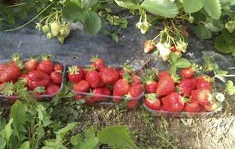 Sadnice jagoda CLERY iz eko uzgoja