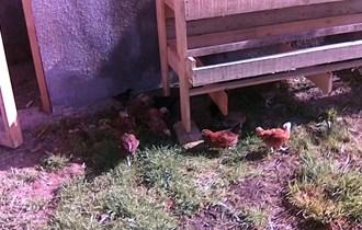 pilići kokoši hrvatice