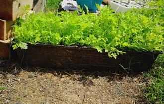 Slatki pelin - Artemisia Annua - sadnice i sjeme ljekovite biljke