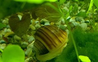 Šareni akvarijski puževi Jabučari - vrlo rijekti