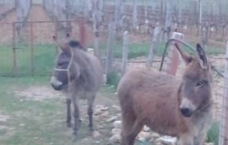 Prodajem magareće mlijeko