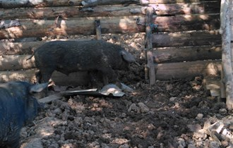 Nerast crne slavonske svinje...