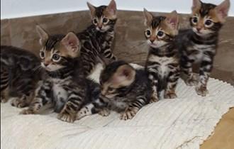 Bengalska mačka-bengalski mačići