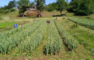 Domači češnjak Vrgorački,uzgojen u Lici