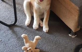 AKITA INU muško štene