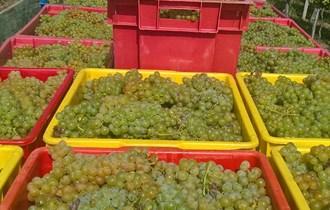 Prodaje se grožđe miješano bijelo