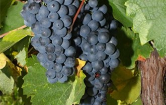Prodajem grožđe bijelog i crnog pinota,frankovke i graševine