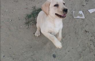 Prodaja steneta pasmine Labrador