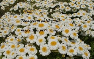 Tanacetum parthenium - povratić - domaće sjeme