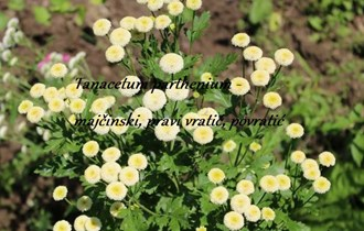 Tanacetum parthenium - povratić - puni cvijet