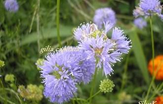 Gilia capitata - domaće sjeme