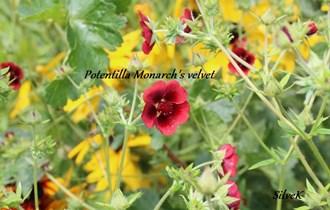 Potentilla Monarchs velvet - domaće sjeme trajnice