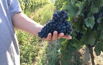 Povoljno prodajem crno grožde sorte Zweigelt, AKCIJA SAMO 2,80 kn