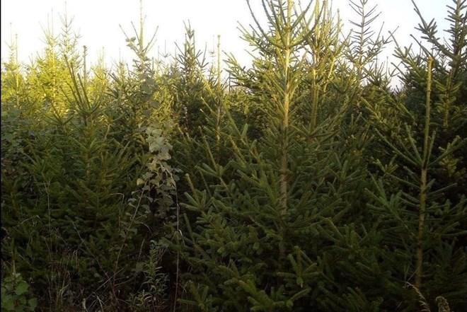 Božićna drvca obične smreke **Akcija**