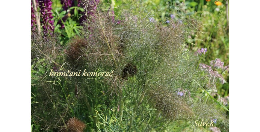 Brončani komorač Smokey -Foeniculum vulgare - domaće sjeme