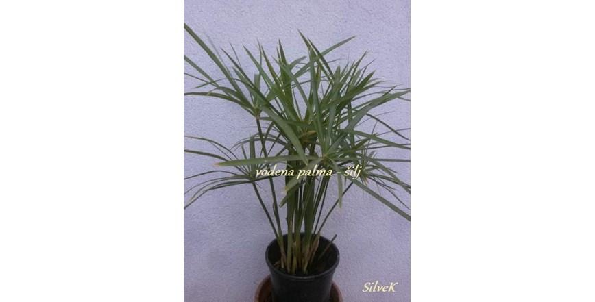 Šilj, vodena palma - Cyperus alternifolius – biljka u tegli