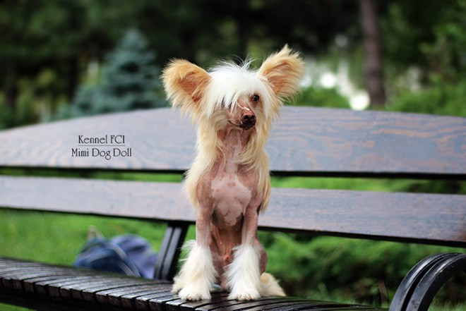 Chinese crested HL MALE