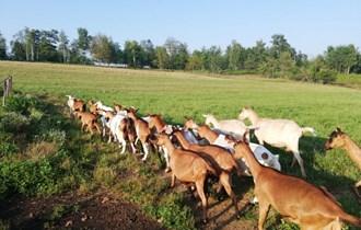 Prodajem stado muznih koza- povoljno