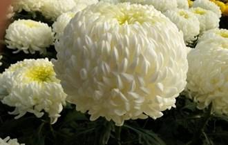 Cvijece rezano za sisvete