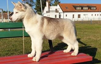 Sibirski haski štenci sa rodovnicama
