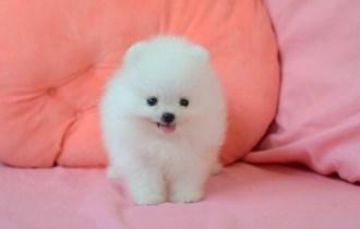 Pomeranian traži novi dom,