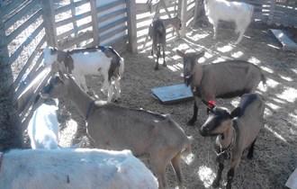 Prodaju se koze, jarac i jarići, svakodnevno na ispaši...