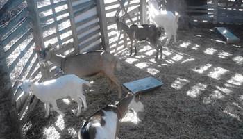 Prodaje se 8 koza, 1 jarac i 2 jarića