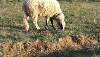 Janjac i dvije ovce