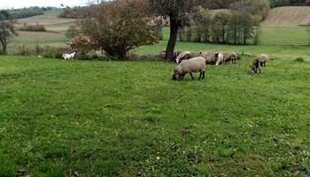 Koza i žensko jare za obradu