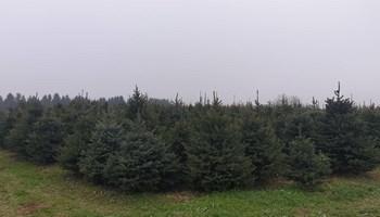Prodajem Božićna drvca srebne i obične smreke, Virovitica