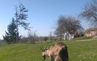 Koza alpina skotna
